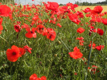 Poppies Castilla La Mancha Spain