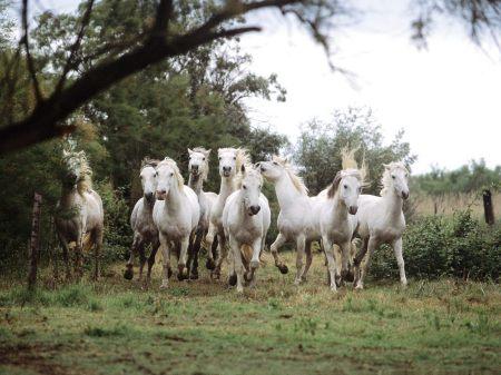 Camargue Horses France