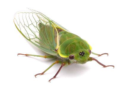 Cicada Gerald Durrell