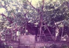 Kos Plane Tree of Hippocrates 1983